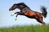 Arabian stallion jumps