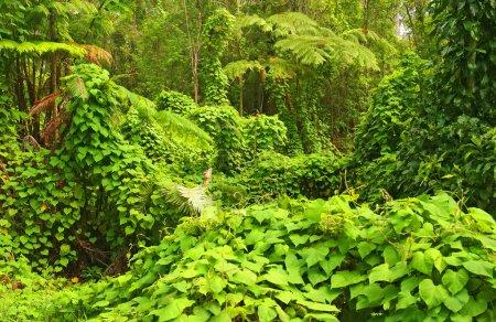 Photo pour Jungle, parc national des volcans, big island, hawaii, usa - image libre de droit