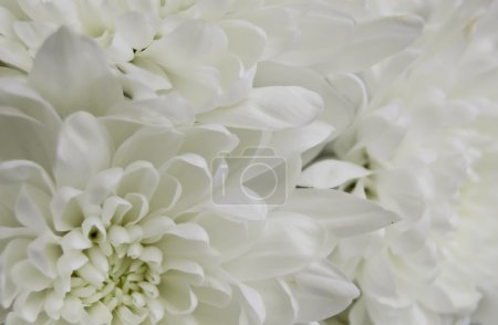 White chrysanthemum closeup