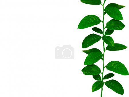 Photo for Lemon tree leaves ribbon - Royalty Free Image