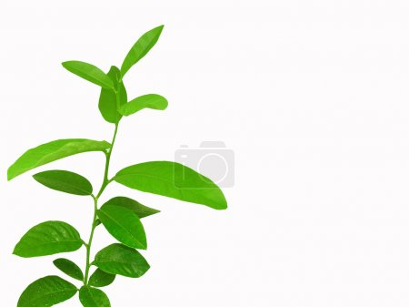 Lemon tree isolated on white