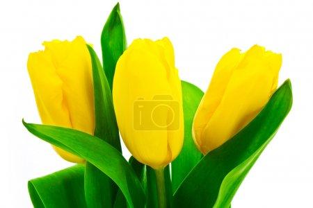 Topaz tulip