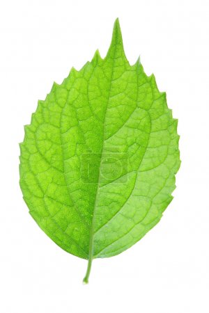 Photo for Single green leaf isolated over white background - Royalty Free Image