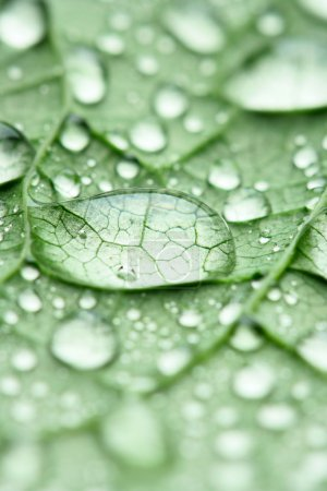 Photo for Water drops on green leaf macro, may be used as background - Royalty Free Image