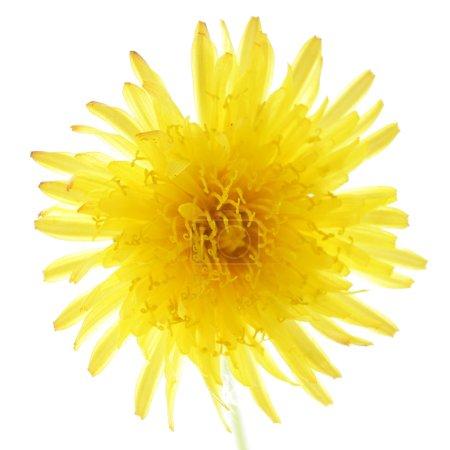 Flowering dandelion closeup