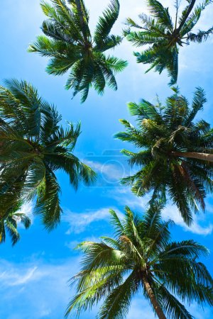Coconut palm heads on blue sky