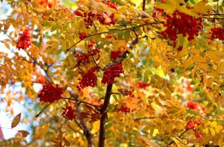 Rowan twig