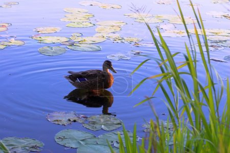 Duck on surface of lake