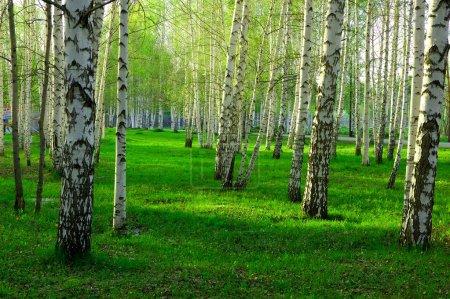 Photo pour Forêt de bouleaux avec longues ombres - image libre de droit