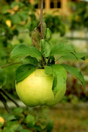 Photo for Green apple hanging low on the tree make a tempting treat. - Royalty Free Image