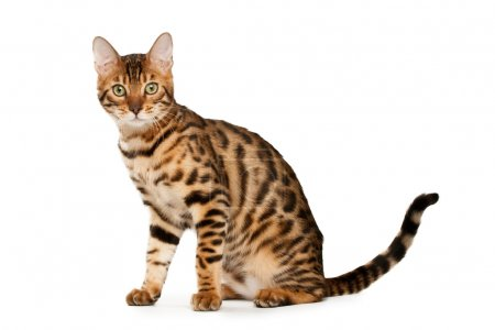 Bengal cat on white background...
