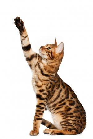 Bengal cat playing...