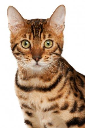 Bengal cat close-up portrait...