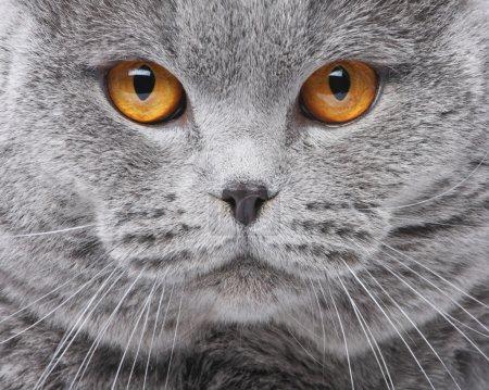 Photo pour Portrait de gros chat Britannique - image libre de droit