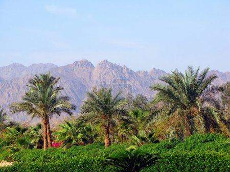 palmiers et les montagnes