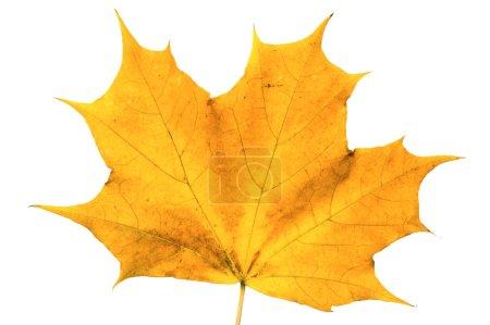Photo pour Feuille d'érable d'automne isolée sur fond blanc - image libre de droit