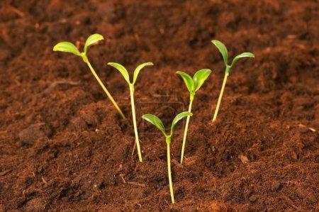 Photo pour Nouveau concept de vie - plantules vertes poussant hors du sol - image libre de droit