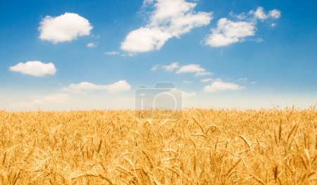 Wheat field on the bright day
