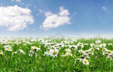 Photo pour Champ de marguerites avec soleil éclatant sur le ciel - image libre de droit