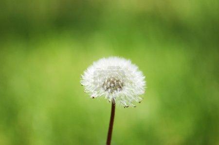 Dandelion against green background