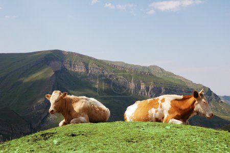 Tow cows at the top of hill in summer
