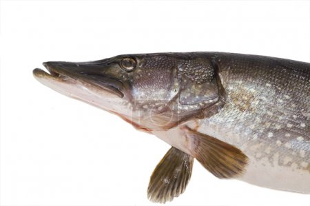 Pike; fish; head; close-up; isolated; fin; gills...