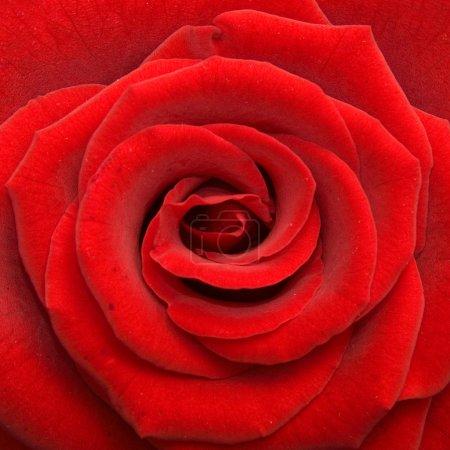 Photo pour Rose - image libre de droit