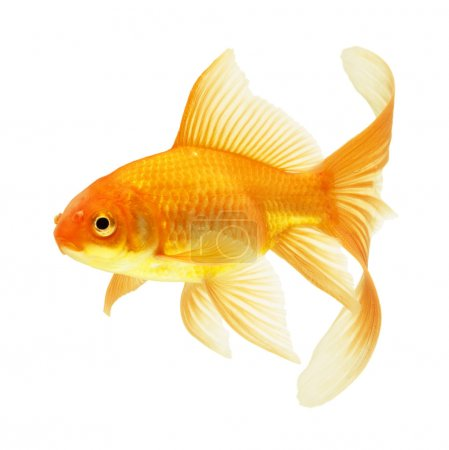 Gold fish isolated on white...