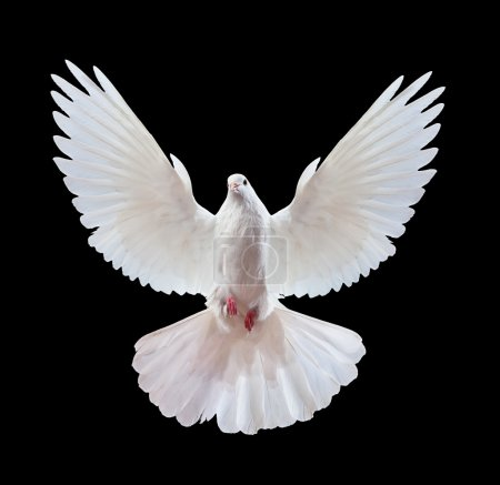 Photo for A free flying white dove isolated on a black background - Royalty Free Image