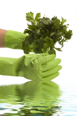 Photo for Parsley in hand - Royalty Free Image
