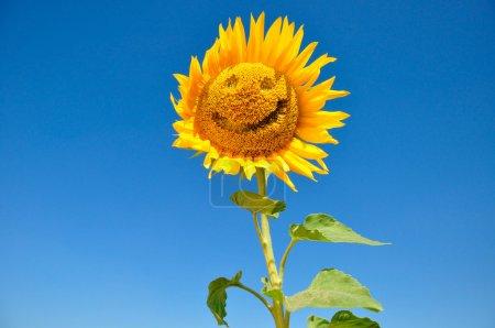 Photo pour Joyeux tournesols contre le ciel - image libre de droit