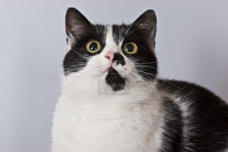 Photo pour Animal domestique série : drôle chat noir et blanc - image libre de droit