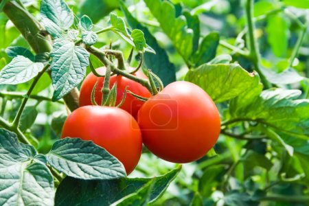 Photo for Isolated growing three fresh red tomatoes with green leaves - Royalty Free Image