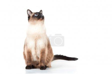 Siamese cat with blue eyes looks upwards