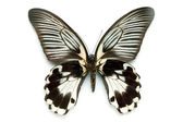 Butterfly series - Rare Beautiful Butter
