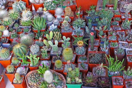 Photo for Potted cacti at market place - Royalty Free Image