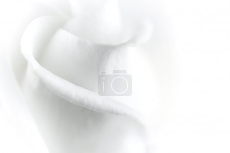 Photo for Close-up of a white rose - Royalty Free Image