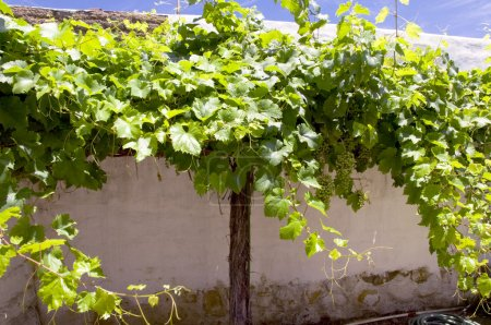 Photo for Grape - Royalty Free Image