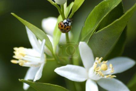 Photo pour Punaise rouge aux fleurs de citron blanc . - image libre de droit