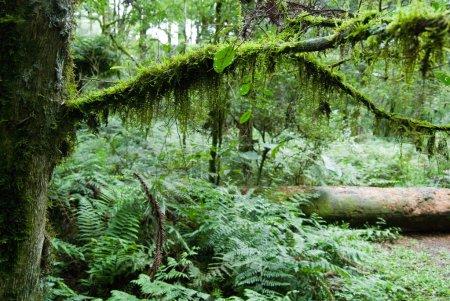 Photo pour Point de riz sur le rameau de l'arbre dans la forêt avec tronc en arrière-plan. - image libre de droit