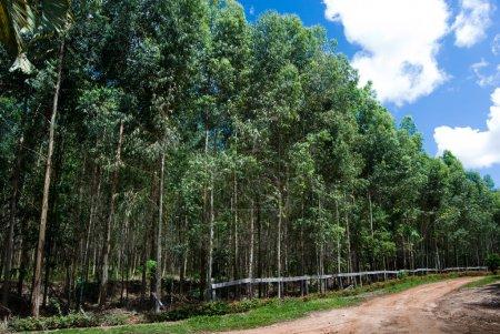 Photo pour Reboisement d'eucalyptus pour la production de charbon dans le sud du Brésil. Eucalyptus spp. - Myrtacées . - image libre de droit