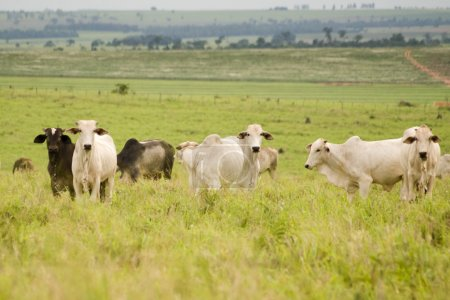 Zebu Cattle grazing on land cleared of forest in B...