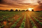 Sunset on the potato field