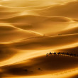 Camel caravan going through the sand dunes in the ...