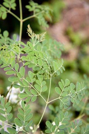Photo pour On dit souvent que les feuilles de moringa contiennent plus de vitamine a que les carottes, plus de calcium que le lait, plus de fer que les épinards, plus de vitamine c que les oranges. - image libre de droit
