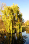 Willow tree in a park in warm colors