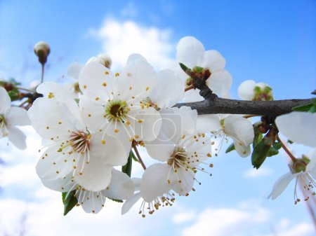 Photo for Cherry Blossom and clear blue sky - Royalty Free Image