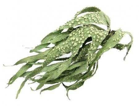 Green lichen plenty of leaves full of dots, isolat...