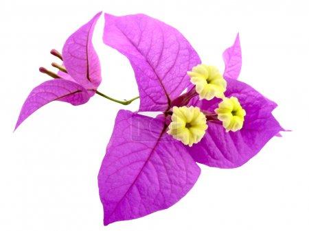 Photo pour Fleur rose et jaune, santa rita ou bougainvilliers - image libre de droit