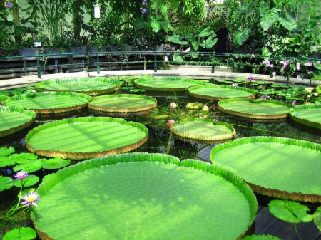 Big water lily